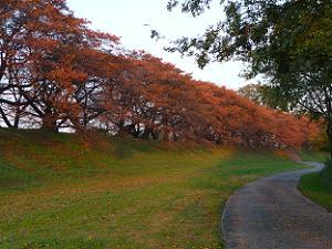赤く色づいた背割堤の桜