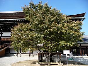 京都御所の左近の桜