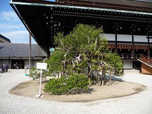 京都御所の右近の橘