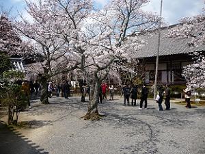毘沙門道の桜