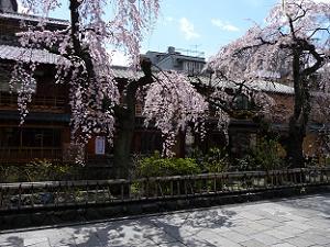 そろそろ見頃の祇園の枝垂れ桜