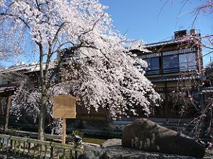 祇園白川の桜
