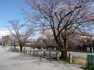 石清水八幡宮、背割堤の桜 3月26日時点