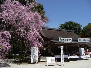 上賀茂神社のみあれ桜