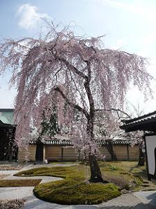 方丈庭園の枝垂れ桜