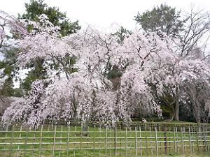 雨にも負けない近衛邸跡の桜・京都御苑