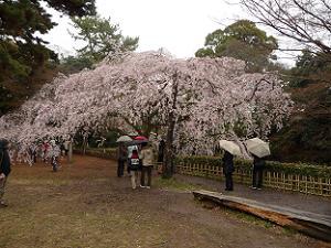 桜の傘で雨宿り