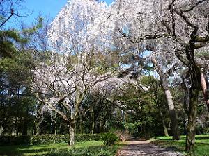 晴れ出した空と桜