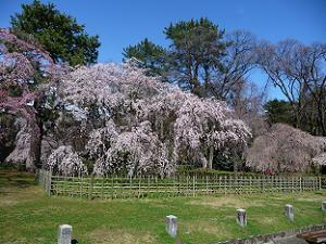 桜は抜けそうな青い空が似あいます