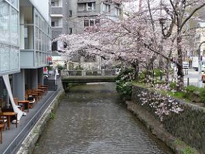 三条付近の高瀬川の桜
