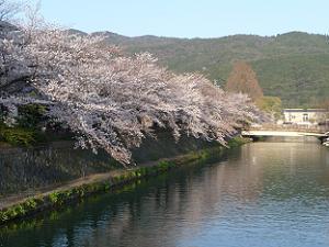 満開の琵琶湖疏水の桜