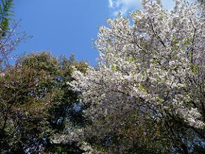 山上の駐車場入口の桜