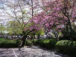 駐車場の八重桜