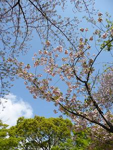 展望台の八重桜