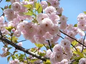 淡い色の花弁