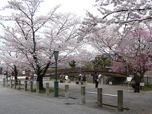 太鼓橋付近も桜が満開