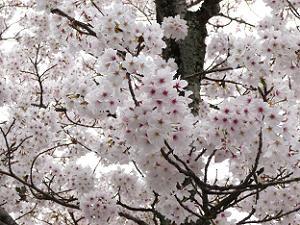 桜の花の大渋滞