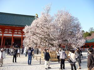満開の左近の桜