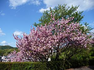 悲田院の八重桜