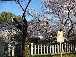 兜之池の桜