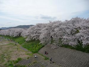 御幸橋から見た背割堤の桜