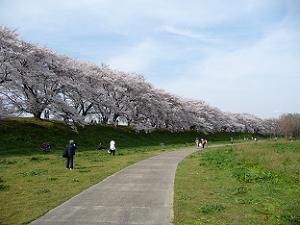 河原の遊歩道から眺めた桜のトンネル