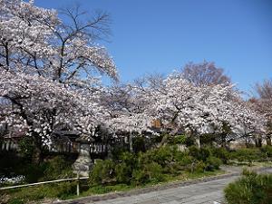 真如堂の参道の桜