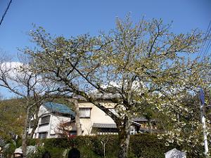 既に散ってしまっている桜