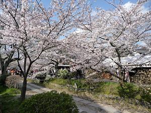 立ち入り禁止で人が少ない道の桜