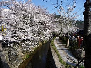 哲学の道のゴールから見た桜