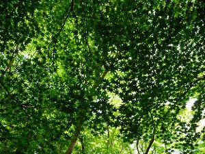 網のようなカエデの葉