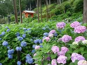 青と紫のアジサイ