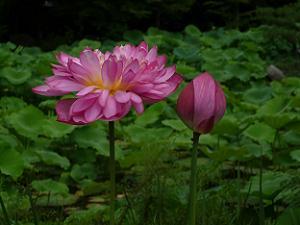 開ききったハスの花