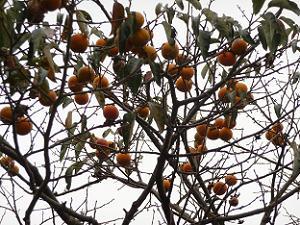 枝には柿の実がいっぱい