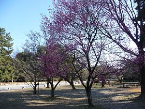 2月21日の京都御苑の梅林
