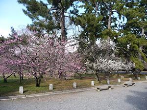 3月上旬の京都御苑の梅林
