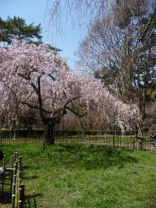 糸桜と緑色の芝生
