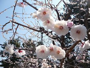 真っ白な梅の花