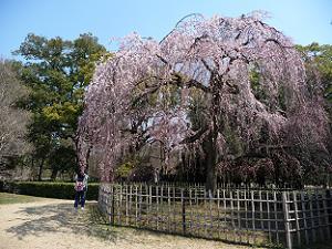 宗像神社近くの枝垂れ桜
