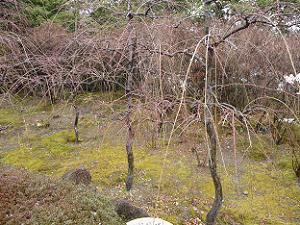 つぼみだらけの枝垂れ梅
