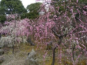 枝垂れ梅が満開の城南宮の梅林