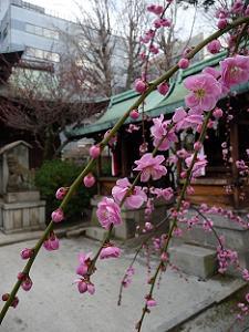 菅大臣神社の本殿近くの梅