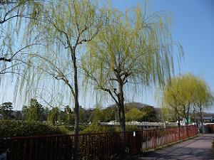 高野川沿いの枝垂れ柳