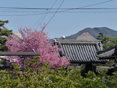 おかめ桜と大文字