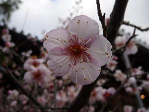 清凉寺の軒端の梅