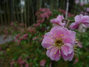 松花堂の梅