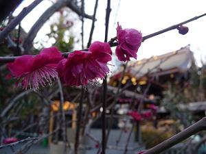菅原院天満宮神社の紅梅