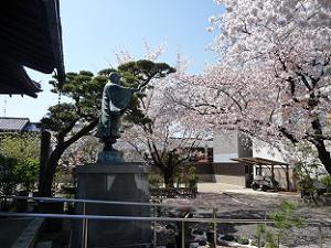 日蓮像の周りはたくさんの桜