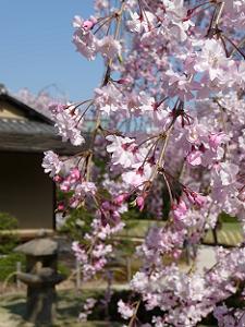近くで見た紅枝垂れ桜