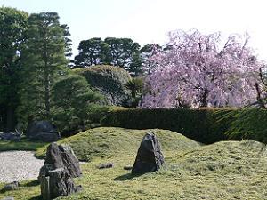 城南離宮の庭から見た紅枝垂れ桜